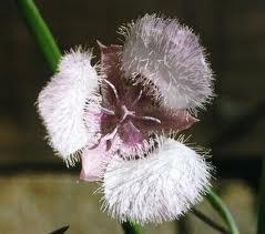 3-star tulip